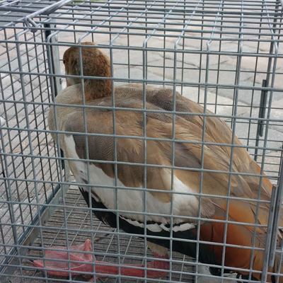 Duck Extermination