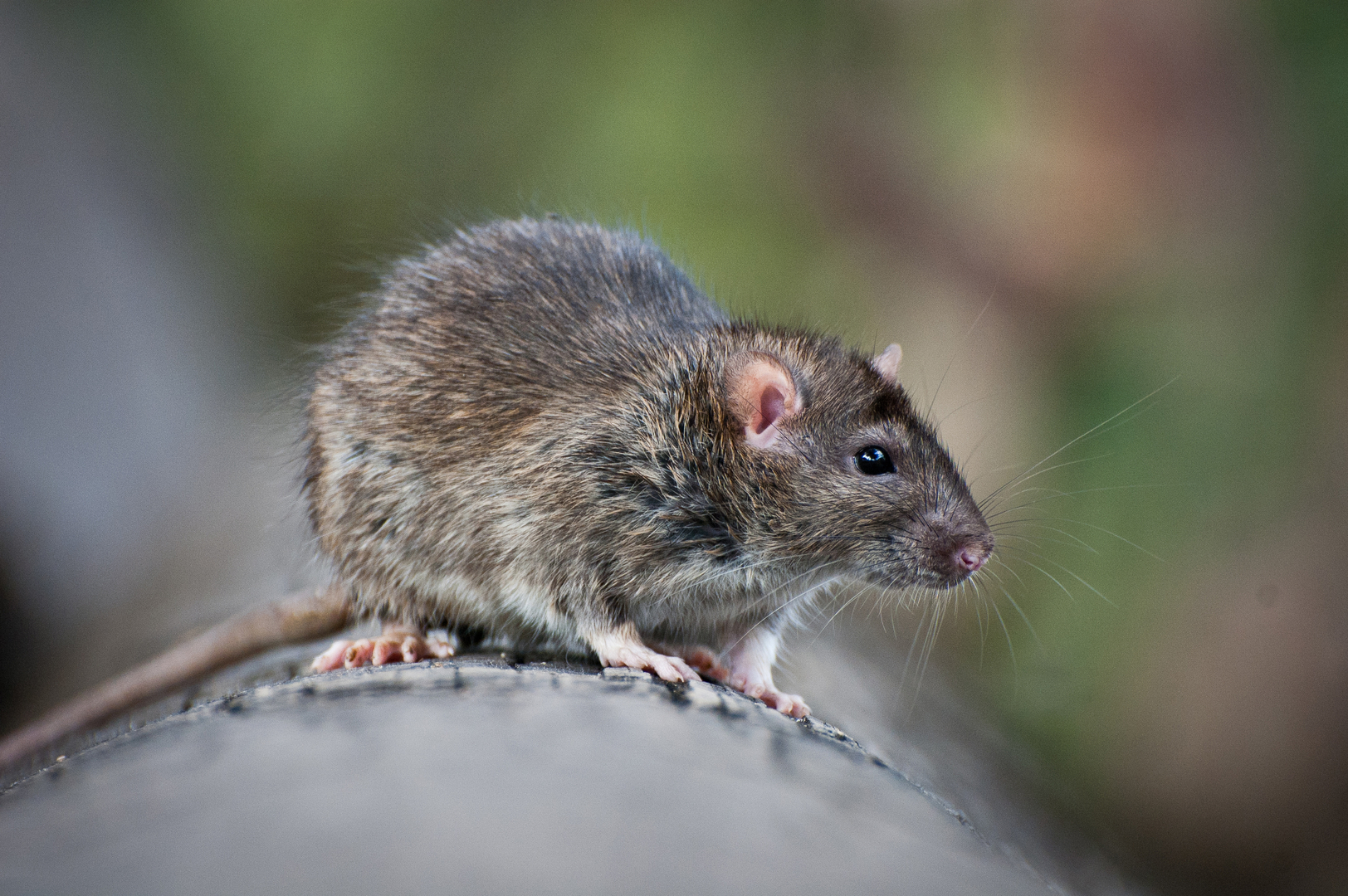 tips on how to get rid of rats outside of your property. Black Bedroom Furniture Sets. Home Design Ideas