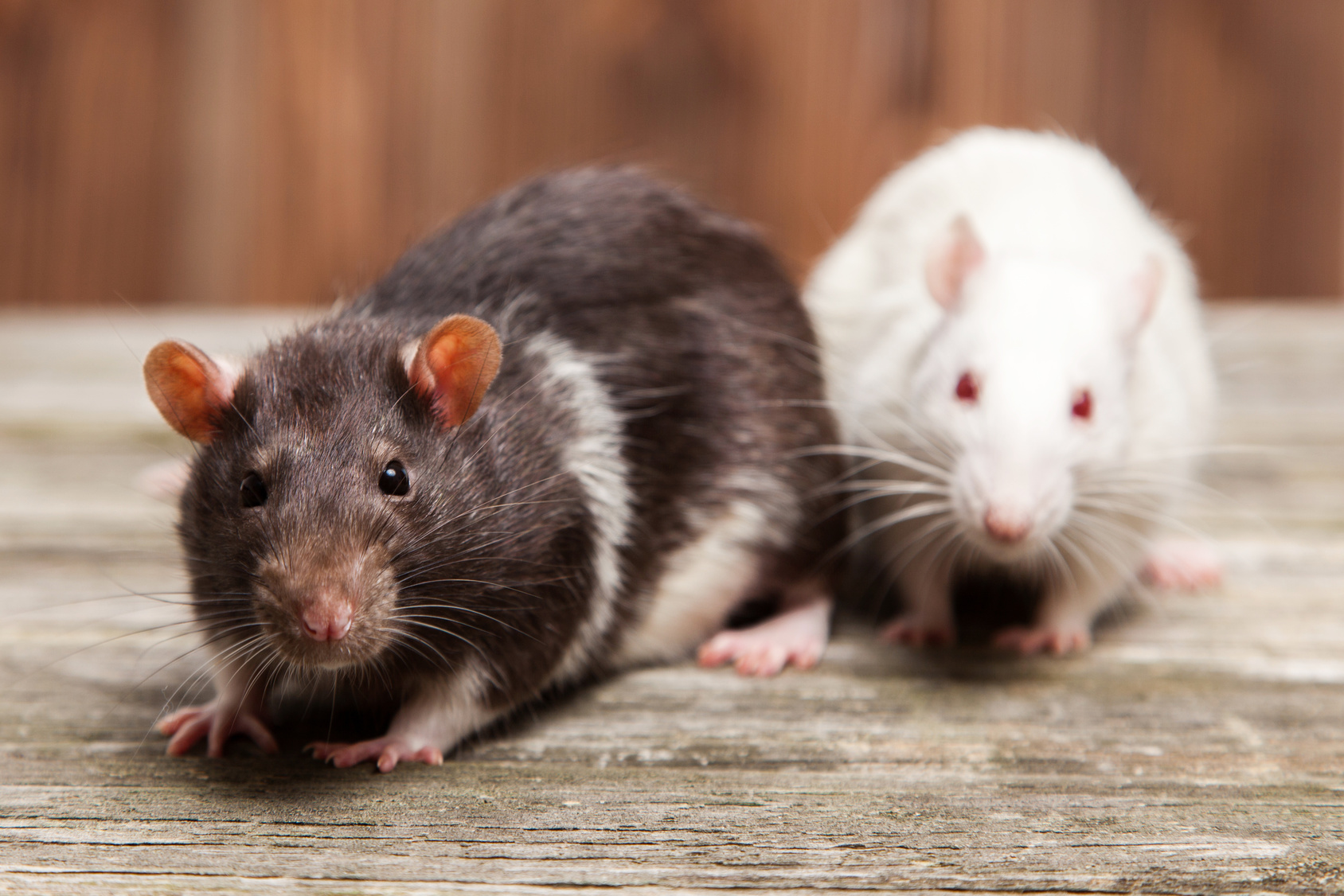 Ways to Get Rid of Rats from Your Property Without Poison
