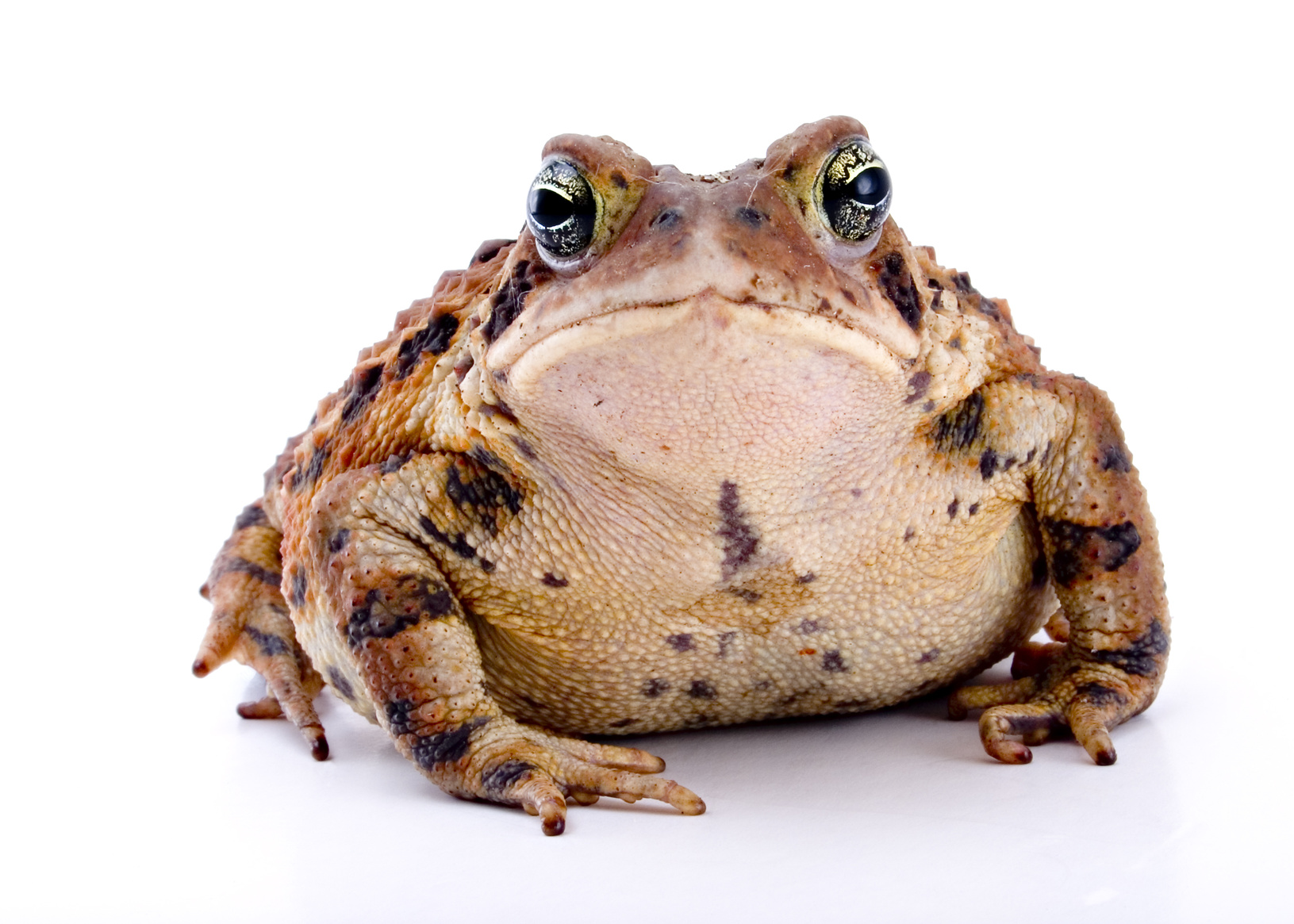 cane toad removal