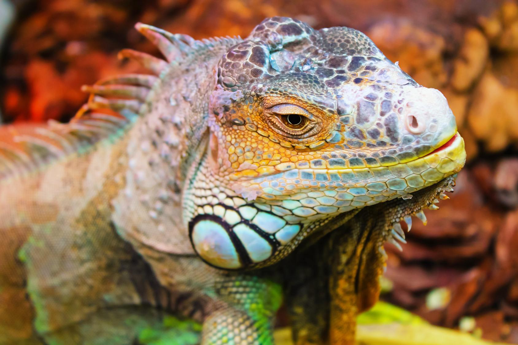 iguana removal