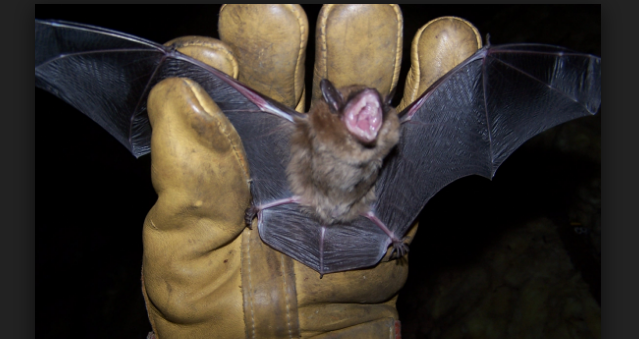Bat Removal Cost Is Generally And Agreeably Both A Tedious Dangerous Activity Especially For Rookie Who Should Want To Use Do It Yourself Roach